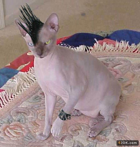 گربه فشن