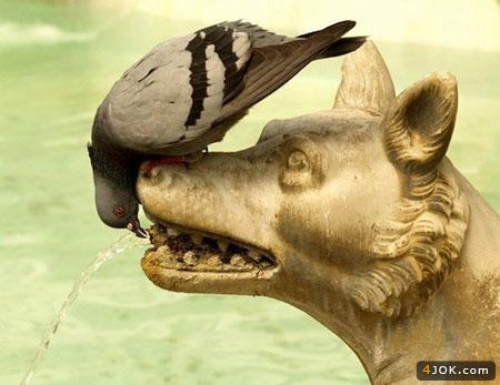 کبوتر شیطون در حال آب خوردن