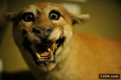 اولین مدل مخمل ( گربه خونه مادر بزرگه ) در موزه لوور فرانسه !