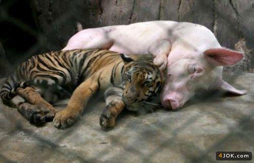 دوستی خوک و ببر دیرینه کهنی دارد !